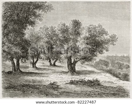 Old illustration of Olive grove. Created by Lancelot after photo of unknown author, published on Le Tour du Monde, Paris, 1860 - stock photo