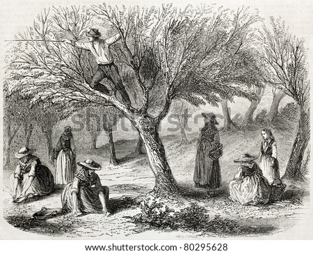 old illustration of olive harvesting near Toulon, France. Created by Gaildrau, published on L'Illustration Journal Universel, Paris, 1857 - stock photo
