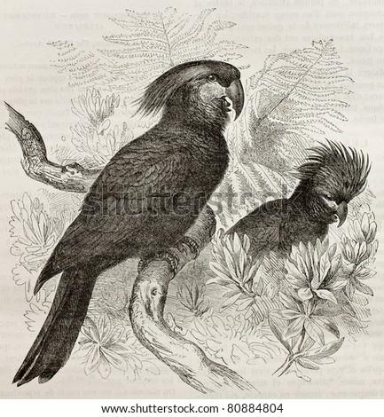 Old illustration of Palm Cockatoo (Probosciger aterrimus). Created by Kretschmer and Jahrmargt, published on Merveilles de la Nature, Bailliere et fils, Paris, 1878 - stock photo