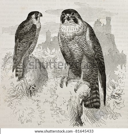 Old illustration of Peregrine Falcon (Falco peregrinus). Created by Kretschmer, published on Merveilles de la Nature, Bailliere et fils, Paris, 1878 - stock photo