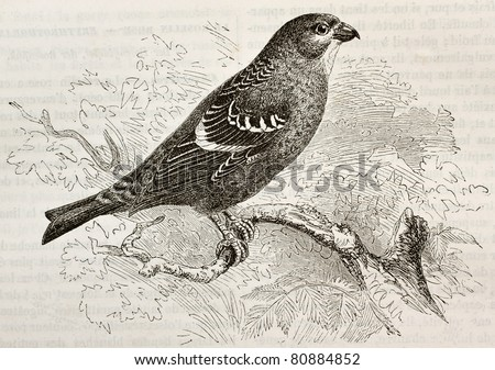 Old illustration of Pine Grosbeak (Pinicola enucleator). Created by Kretschmer and Niedermann, published on Merveilles de la Nature, Bailliere et fils, Paris, 1878 - stock photo
