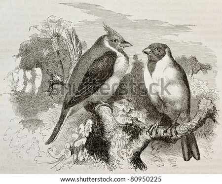 Old illustration of Red-cowled Cardianal (Paroaria dominicana). Created by Kretschmer and Schmid, published on Merveilles de la Nature, Bailliere et fils, Paris, 1878 - stock photo
