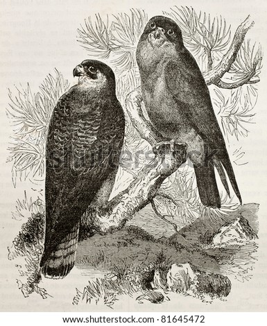 Old illustration of Red-footed Falcon (Falco vespertinus). Created by Kretschmer and Jahrmargt, published on Merveilles de la Nature, Bailliere et fils, Paris, 1878 - stock photo