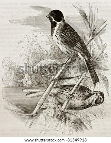 Old illustration of Reed Bunting (Emberiza schoeniclus). Created by Kretschmer, published on Merveilles de la Nature, Bailliere et fils, Paris, 1878 - stock photo