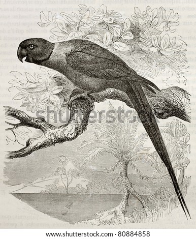 Old illustration of Rose-ringed Parakeet (Psittacula krameri). Created by Kretschmer and Jahrmargt, published on Merveilles de la Nature, Bailliere et fils, Paris, 1878 - stock photo