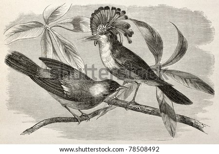 Old illustration of Royal flycatcher (Onychorhynchus coronatus). Created by Riou, after Rouyer and Badoursau, published on Le Tour du Monde, Paris, 1864 - stock photo