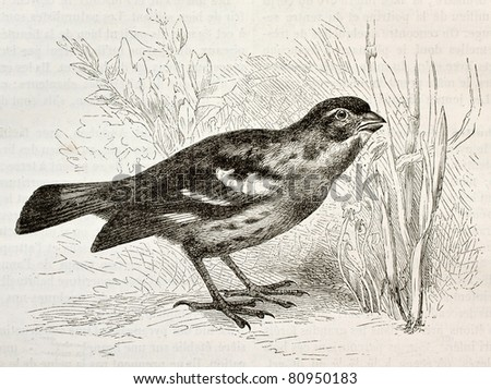 Old illustration of Rufous-tailed Plantcutter (Phytotoma rara). Created by Kretschmer and Wendt, published on Merveilles de la Nature, Bailliere et fils, Paris, 1878 - stock photo