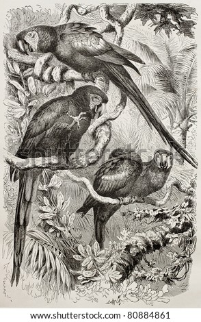 Old illustration of Scarlet Macaw (Ara macao). Created by Kretschmer and Schmid, published on Merveilles de la Nature, Bailliere et fils, Paris, 1878 - stock photo