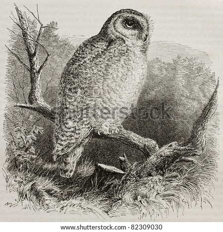 Old illustration of Snowy Owl (Bubo scandiacus). Created by unidentified author, published on Merveilles de la Nature, Bailliere et fils, Paris, 1878 - stock photo