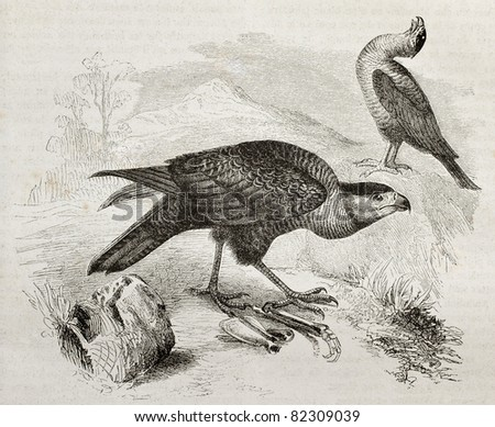 Old illustration of Southern Caracara (Caracara plancus). Created by Kretschmer and Jahrmargt, published on Merveilles de la Nature, Bailliere et fils, Paris, 1878
