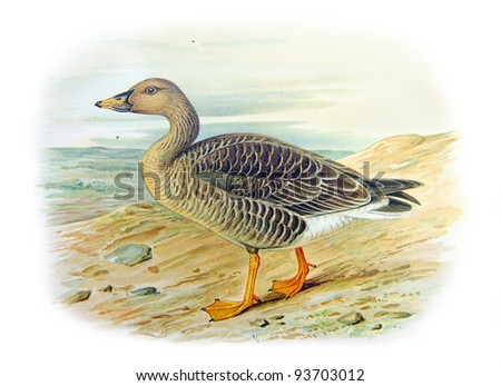 Old illustration of Tundra Bean-Goose (Anser serrirostris mentalis). Created by Frederick William Frohawk. Published on Geese of Russia by Sergey Alferaki, Moscow, 1904