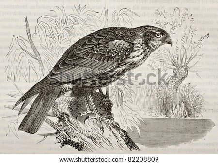 Old illustration of Western Marsh Harrier (Circus aeroginosus). Created by Kretschmer, published on Merveilles de la Nature, Bailliere et fils, Paris, 1878 - stock photo