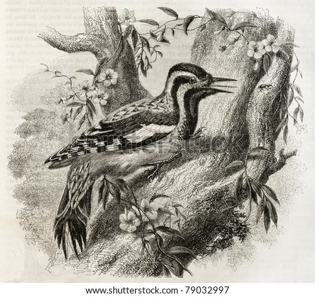 Old illustration of Woodpecker in North America: Yellow-bellied Sapsucker (Sphyrapicus varius). Created by Freeman, published on Magasin Pittoresque, Paris, 1850