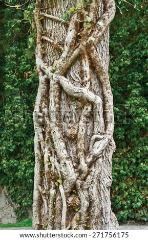 Old ivy (Hedera taurica) on stem of tree - stock photo
