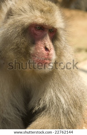 Old Japanese Macaque
