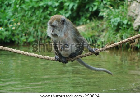 Old Java Macaque female - stock photo