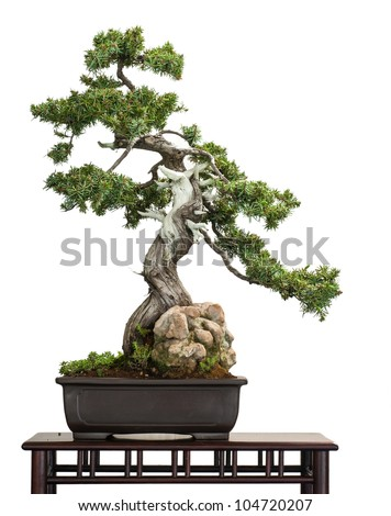 Old Juniper (Juniperus rigida) as bonsai tree is white isolated