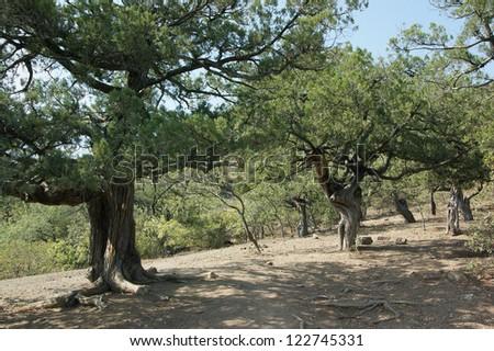 old juniper trees (500-700 years old) grove in Crimea, Ukraine - stock photo