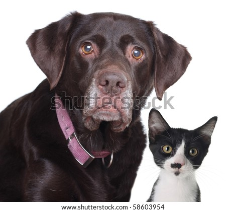 Old labrador retriever and cat, studio isolated on white. - stock photo