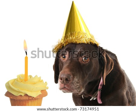 Old labrador retriever wearing a birthday hat with a cupcake - stock photo
