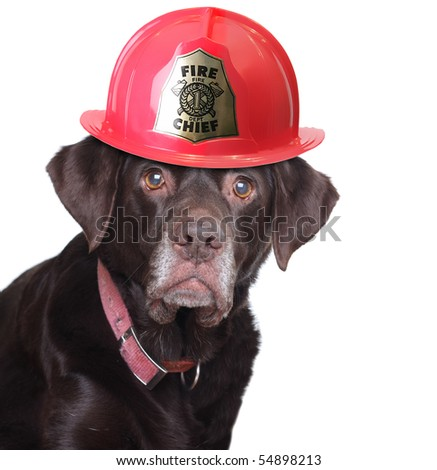 Old labrador retriever wearing a fire fighter helmet, studio isolated on white. - stock photo