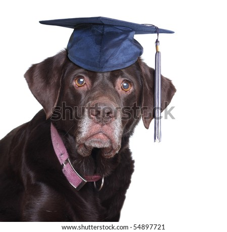 "Old labrador retriever,  wearing a mortar board. ""Never too old to learn"" concept."
