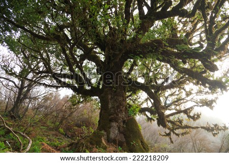 Old laurel tree in the fog on Madeira, Portugal - stock photo
