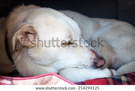Old lazy Spanish Mastiff in doghouse closeup - stock photo