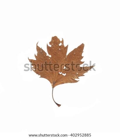Old leaf isolated on white. Autumn leaf. - stock photo