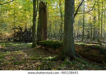 Old linden tree broken lying and sun above in autumnal landscape of deciduous stand,Bialowieza Forest,Poland,Europe