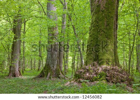 Old linden trees at springtime Bialowieza Forest stand - stock photo