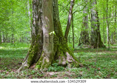 Old linden trees in summertime deciduous stand, Bialowieza Forest, Poland, Europe