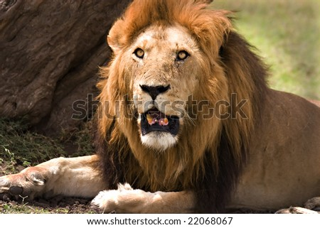 Old lion laying under a tree in the Masai Mara Kenya - stock photo