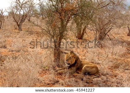 Old lion resting. - stock photo