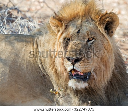 Old lion with one eye missing at sunset in Ongava Game Reserve, Namibia (shallow DOF) - stock photo
