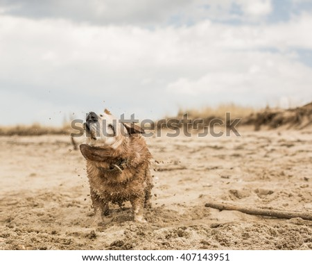 Old little dog with grey face and floppy ears shaking it's coat on the beach.