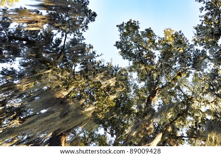 Old Live Oak Trees with Spanish Moss - stock photo
