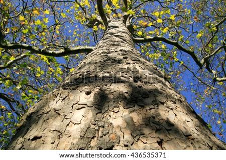 Old London Plane tree (Platanus x hispanica) losing it's leaves in the autumn fall - stock photo