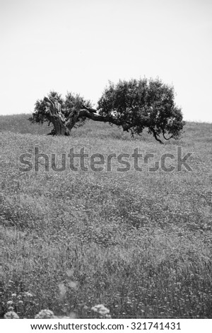 Old lonely oak tree on field covered with blooming wild flowers. South of Portugal. Life cycle concept. Aged photo. Black and white. - stock photo