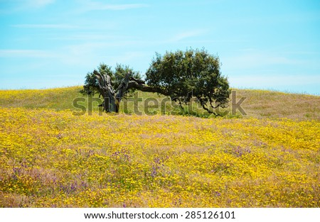 Old lonely oak tree on field covered with blooming wild yellow daisy and violet lavender flowers. South of Portugal. Life cycle concept. - stock photo