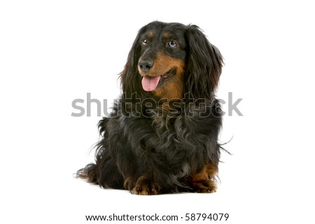 old long haired black and tan dachshund isolated on a white background - stock photo