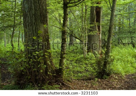 Old lyme trees in the old natural deciduous forest,middle europe,poland