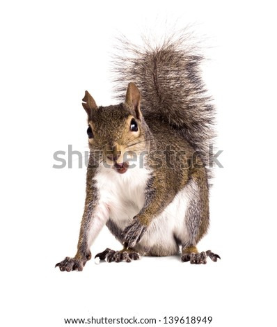 Old male American gray squirrel with torn ears - stock photo