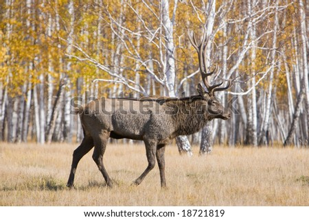 Old male deer