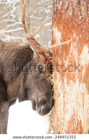 old male moose or elk bull damaging a tree with his antlers in winter forest - stock photo