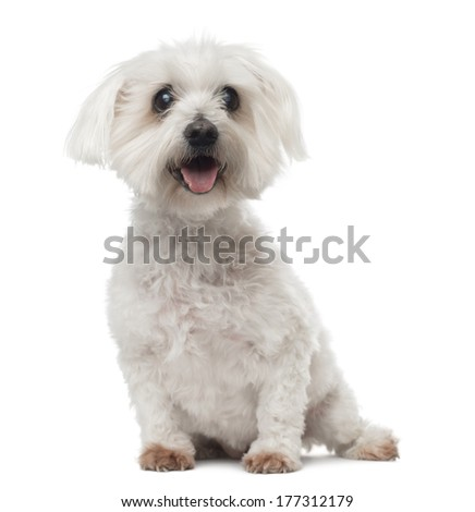 Old Maltese dog with cataract, sitting, panting, 15 years old, isolated on white - stock photo