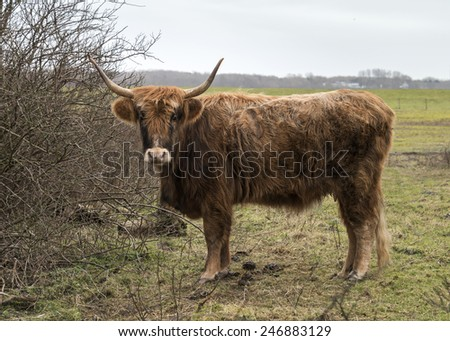old mammal galloway cow with horns in dutch nature - stock photo