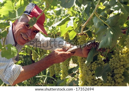 old man working in the vineyard with a smile on his face - stock photo