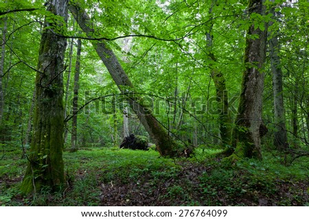 Old maple in natural late summer forest against juvenile stand,Bialowieza Forest,Poland,Europe - stock photo