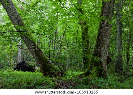 Old maplein natural late summer forest against juvenile stand - stock photo